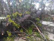 Angri, forte vento spezza albero secolare